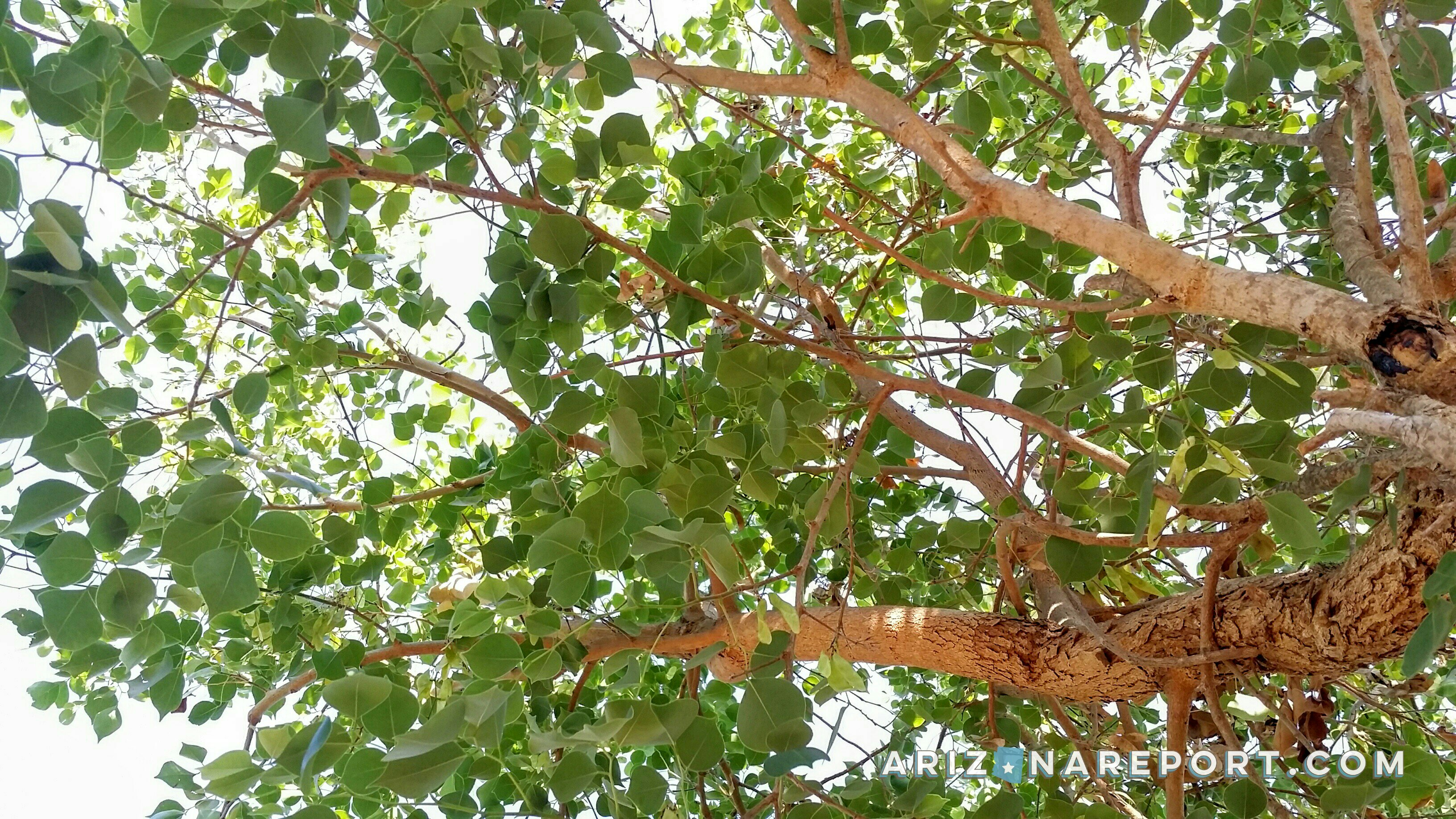 The Sissoo Tree: Sublime Shade Source or Foreign Fiend?