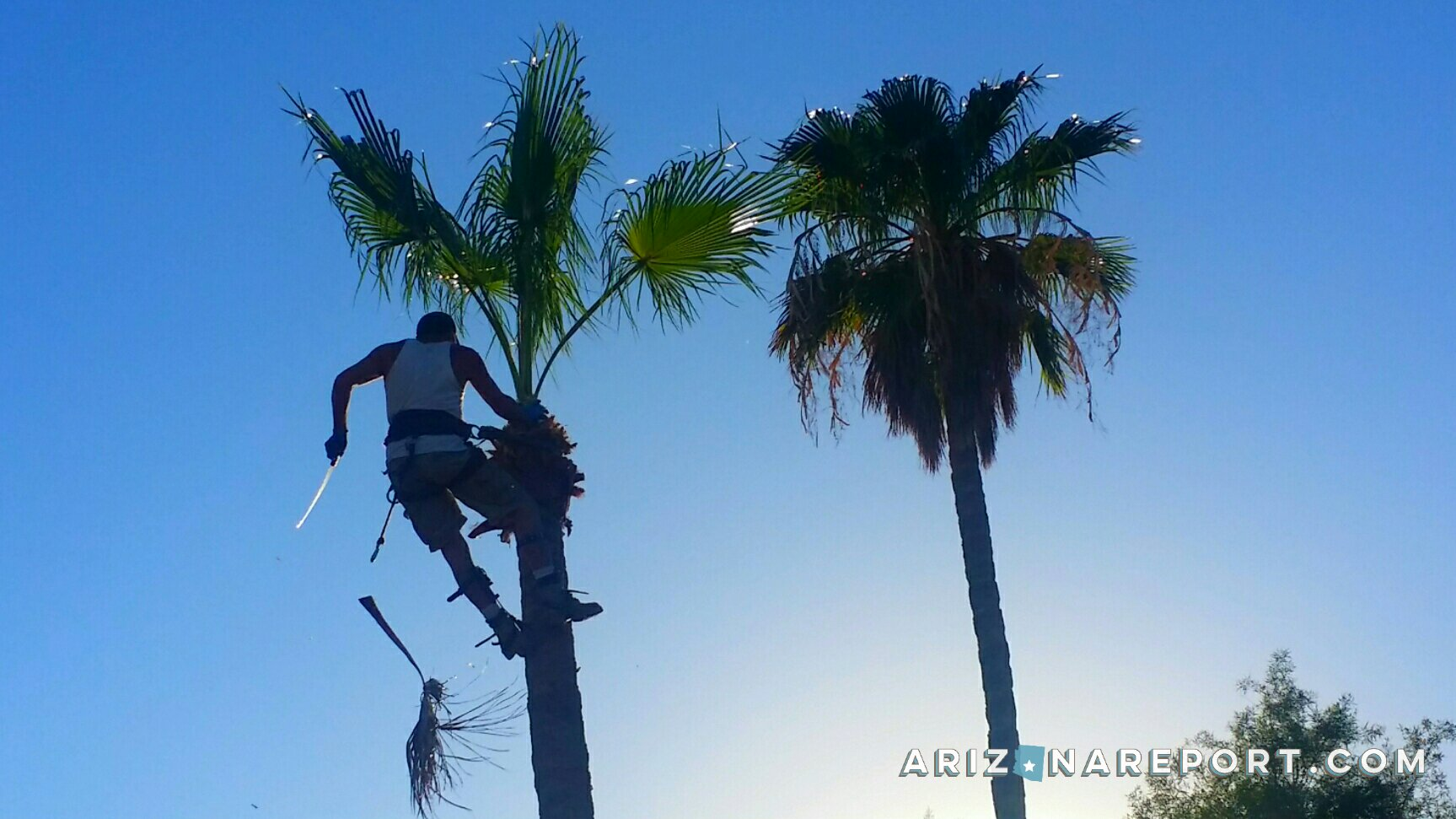 the high art of pruning palm trees in phoenix the arizona report