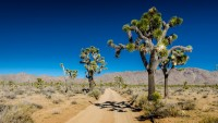 what is joshua tree yucca brevifolia look like desert Arizona California mountain