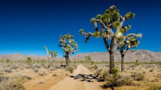 what is joshua tree yucca brevifolia look like desert Arizona California mountain