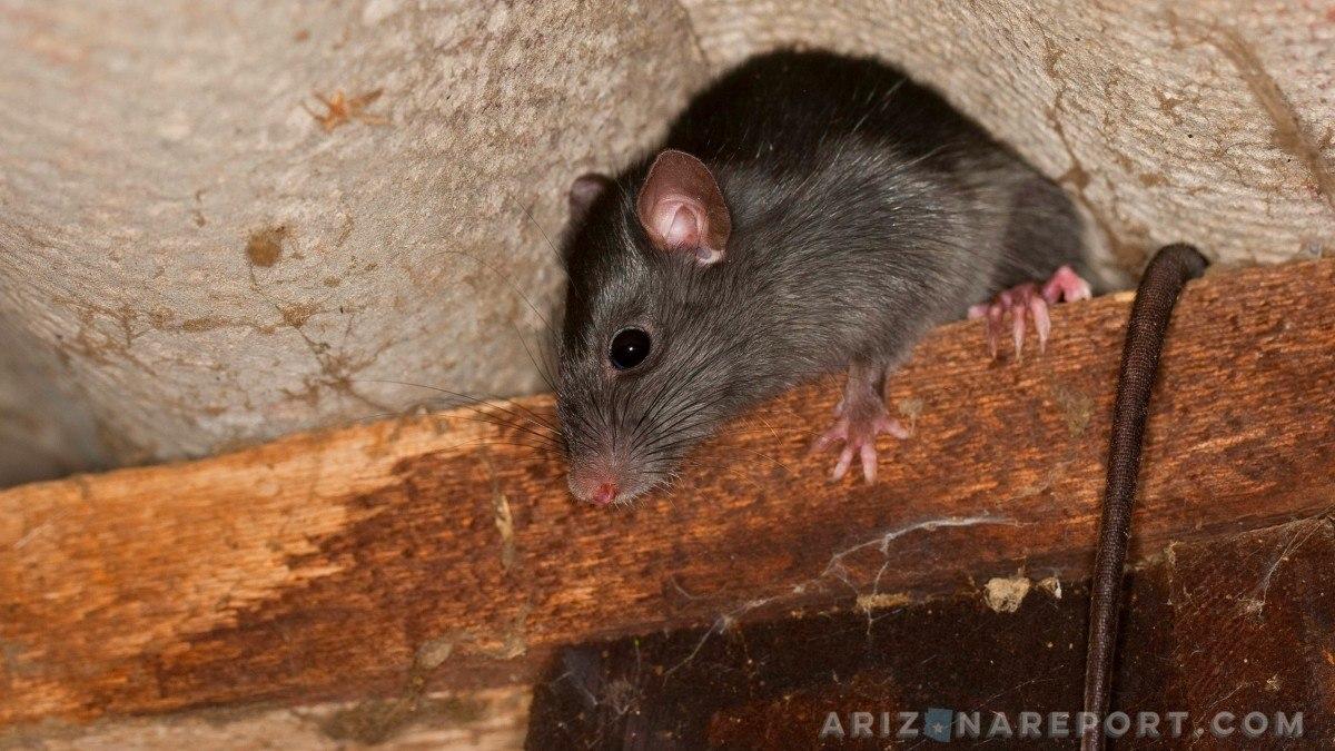 roof rat black rats Phoenix Arizona Arcadia oranges fruit holes ground citrus