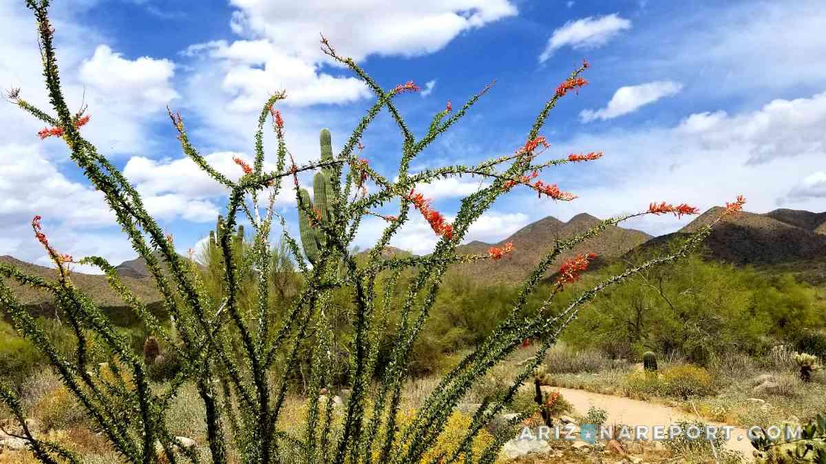ocotillo plant bloom desert Scottsdale Arizona trail red green