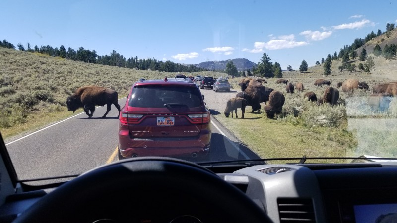 buffalo bison Yellowstone Lamar Valley crossing highway 2019